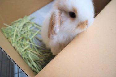 ウサギの気持ちならぬ、私の気持ち。~桃をお迎えする前から、お迎えした日まで編~