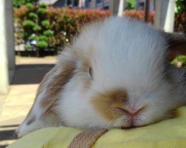 生後7週間、お迎えして3週間の桃の様子。赤ちゃんウサギはどんな行動で感情表現する?名前を呼ぶと顔を上げるしぐさも