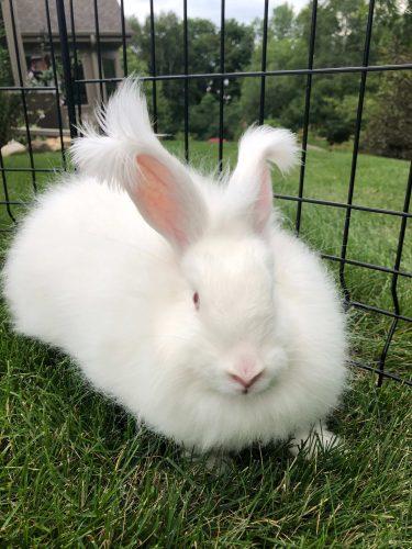 アンゴラウサギってしってる?その生態。モフモフすぎて絶句する!モコモコすぎて絶句する!